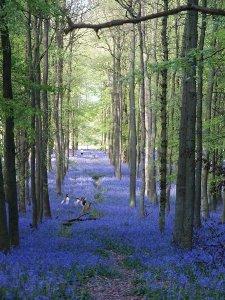 Bluebell1
