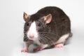 Ratte.jpg