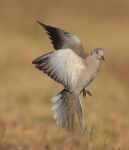 Fliegende Taube