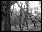Black Hills Forest 14