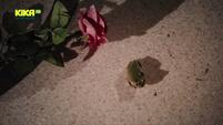 Rose Frosch 809
