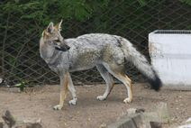 Zoo América-2874f-Urocyon cinereoargenteus