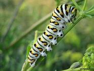 6. Caterpillar (Gluttons)