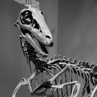 """Troodon (""""wounding tooth"""")"""