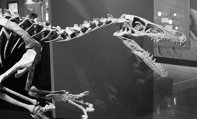 Velicoraptor skeleton