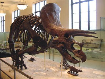 Triceeratops Skeleton
