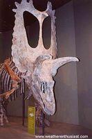 """Torosaurus (""""perforated lizard"""")"""