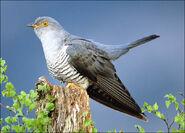 3. Cuckoo Bird (Cheats)