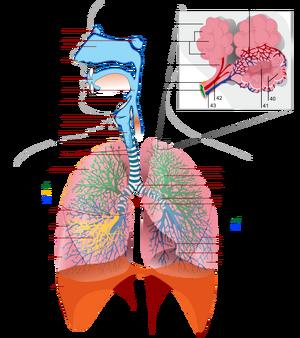 Systems-Respiratory-wik