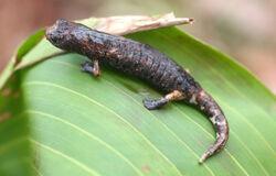 Salamander Dolfein Image