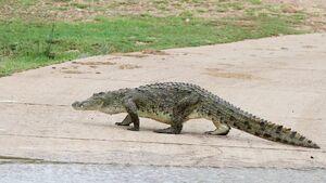 Reptiles-crocodile-01-goog