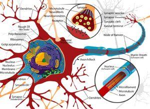 Neuron-Cell-goog