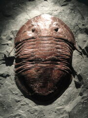 Isotelus brachicephalus, Late Ordovician - National Museum of Natural History, United States - DSC08538