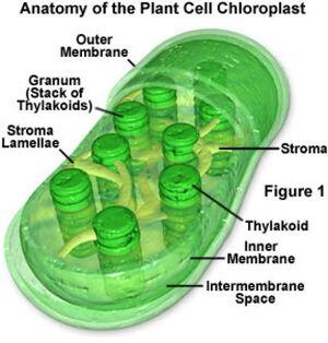 Chloroplast-03-goog