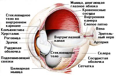Anatomia glasa
