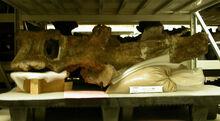 Amphicoelias altus 2006-09-28-amnh-dinos-124