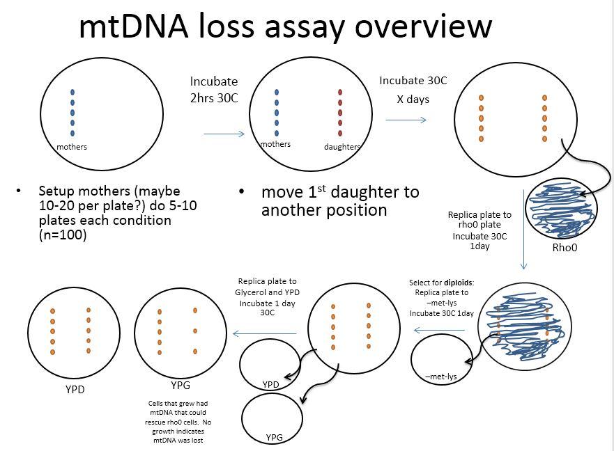 Mt DNA loss
