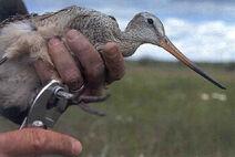 Banding Marbled Godwit