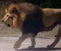 Zombie Lion (Zoombies)