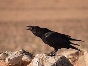Common Raven (Corvus corax), Tefia, Fuerteventura