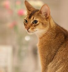 The-abyssinian