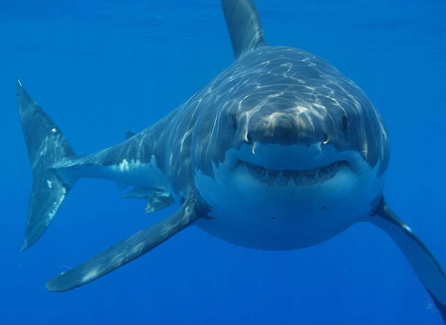 File:Great white shark south africa.jpg