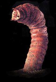 Gobi worm