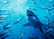 Great-white-shark-fish-625x450