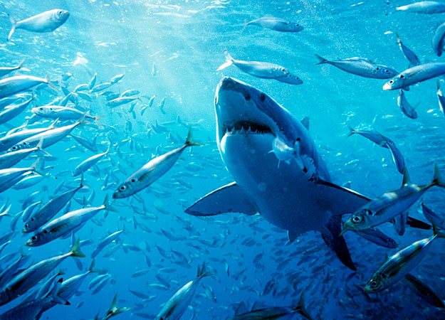 image - great-white-shark-fish-625x450 | sea monsters wiki, Modern powerpoint