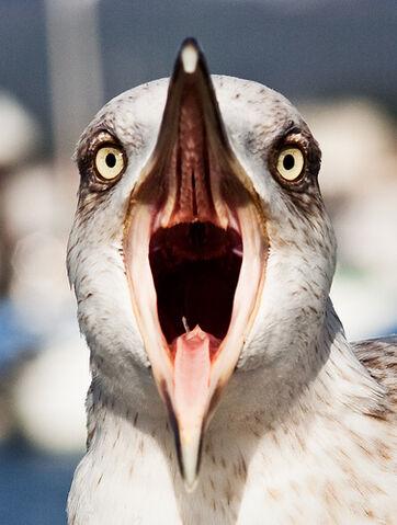 File:El grito de la gaviota - Seagull scream.jpg