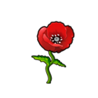 Common Red Poppy