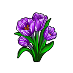 Broken Purple Tulip