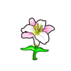 Common Regal Lily