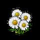 Common White Daisy