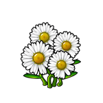 Common White Daisy