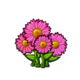 Common Pink Daisy