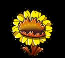 Carnivorous Sunflower