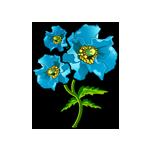 Rare Himalayan Blue Poppy