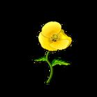 Common Yellow Poppy
