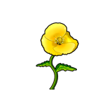 Common Yellow Poppy