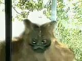 Fiskerton Phantom (Gorilla-Cat)