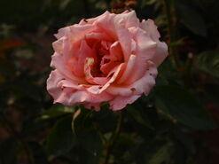 2011.08.11 (399) Rose Rosa 'Fireside'