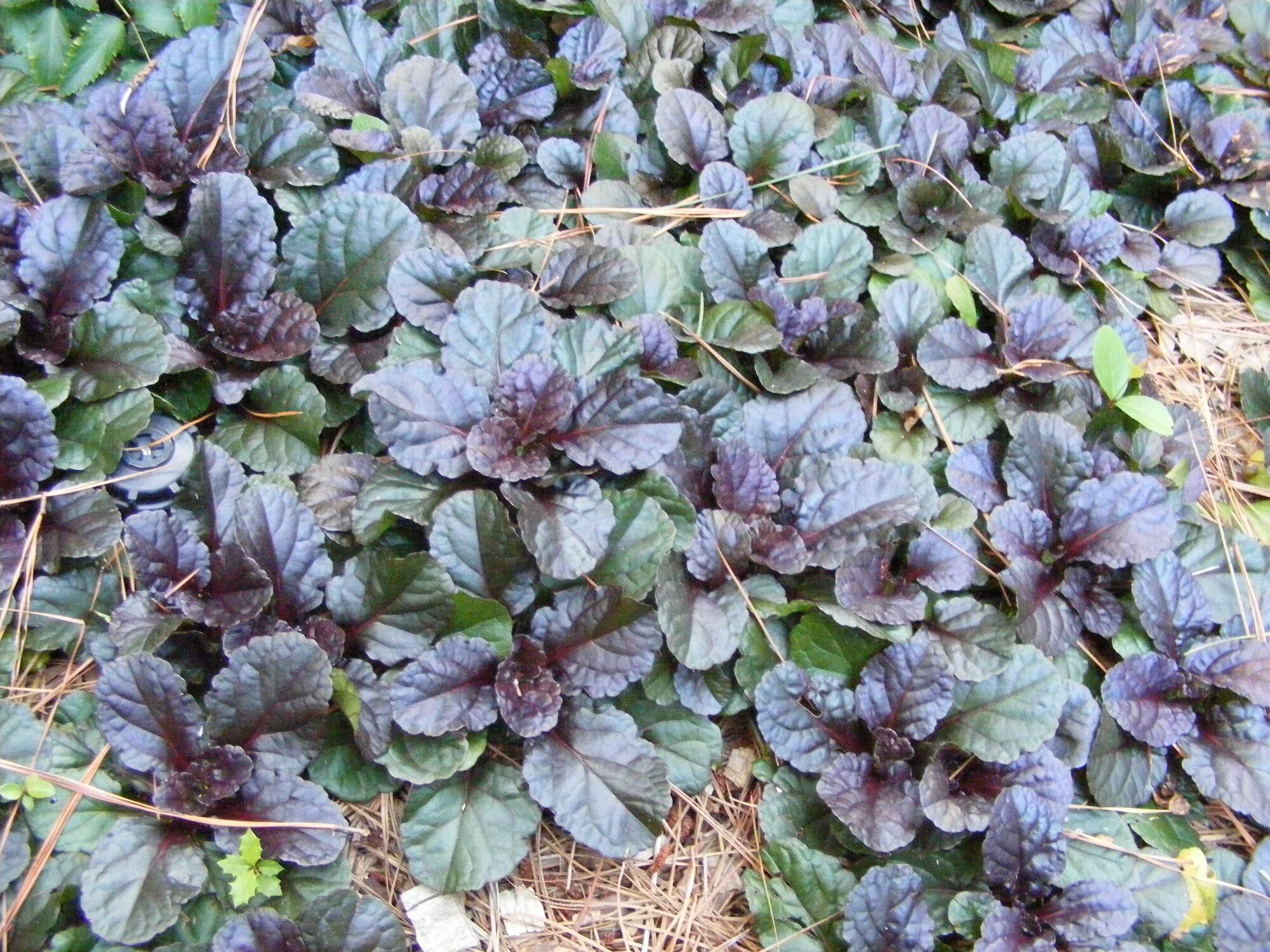 Bugleweed Ajuga Garden Seeds And Plants Wiki Fandom