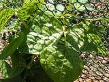 Bean, common Phaseolus vulgaris