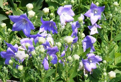 2011.06 (183) Balloon Flower Platycodon grandiflorus 'Sentimental Blue'-