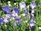 Bellflower Campanula