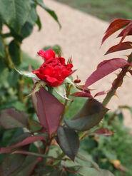 2011.08.11 (500) Hybrid Tea Rose Rosa 'Bob Hope'