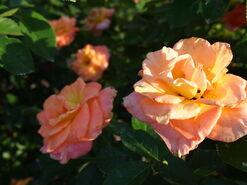 2011.08.11 (617) Floribunda Rose Rosa 'Day Breaker'