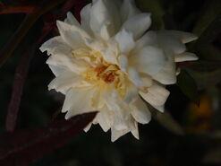 2011.08.11 (338) Antique Rose Rosa 'Ducher'