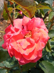 2011.06 (555) Rosa 'Fragrant Cloud'